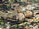 General Thick-knee & stone curlew information