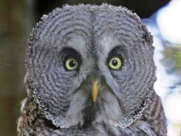 Great Grey Owl - Great Grey Owl